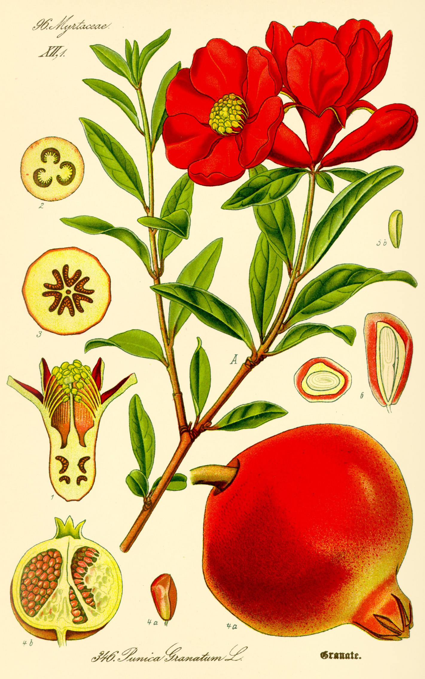 Illustration Punica granatum Granatapfel vintage
