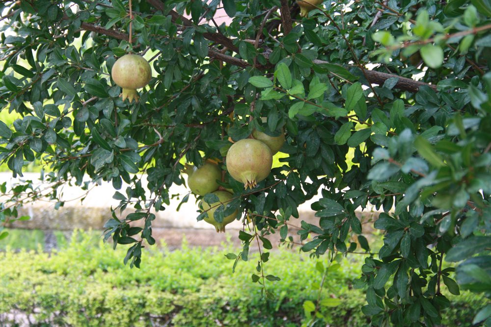 Alhambra Andalusien Granatapfel Baum