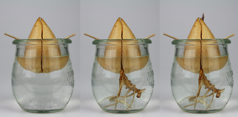 avocadokern einpflanzen h bschen avocadobaum selber ziehen. Black Bedroom Furniture Sets. Home Design Ideas