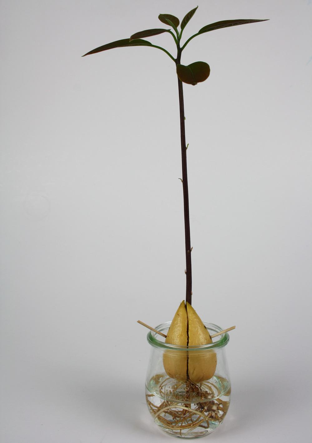 Fabulous Avocadokern einpflanzen & hübschen Avocadobaum selber ziehen YC75